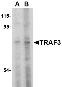Western blot - Anti-TRAF3 antibody (ab36988)