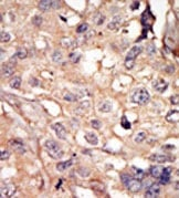 Immunohistochemistry (Formalin/PFA-fixed paraffin-embedded sections) - Anti-ARK5 antibody (ab37641)