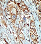 Immunohistochemistry (Formalin/PFA-fixed paraffin-embedded sections) - Anti-PI 4 Kinase type 2 beta antibody (ab37812)