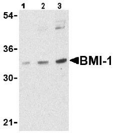 Western blot - Anti-Bmi1 antibody (ab38295)