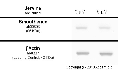 Western blot - Anti-Smoothened antibody (ab38686)