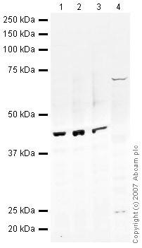 Western blot - Pax2 antibody (ab38738)