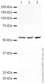 Western blot - Calreticulin antibody (ab39818)