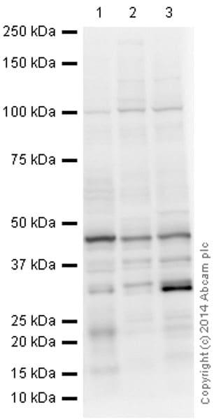 Western blot - Anti-Semaphorin 3F antibody (ab39956)