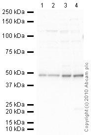 Western blot - Anti-Endothelin B Receptor antibody (ab39960)