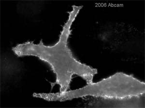 Immunocytochemistry/ Immunofluorescence - Anti-Ezrin antibody [3C12] (ab4069)