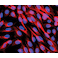 Immunocytochemistry/ Immunofluorescence - Anti-alpha Tubulin antibody - Loading Control (ab4074)