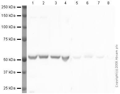 Western blot - Anti-alpha Tubulin antibody - Loading Control (ab4074)