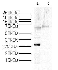 Western blot - Anti-Histone H1.2 antibody - ChIP Grade (ab4086)