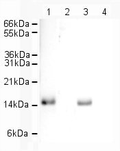 Western blot - Anti-Histone H2A.Z antibody - ChIP Grade (ab4174)