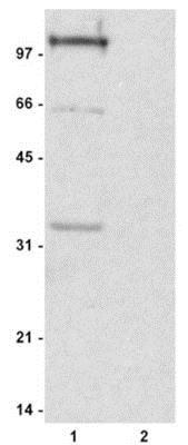 Western blot - Anti-Histone H1 (phospho ) antibody (ab4270)