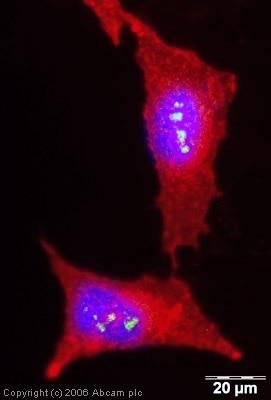 Immunocytochemistry/ Immunofluorescence - Anti-Ninein/NIN antibody - Centrosome Marker (ab4447)