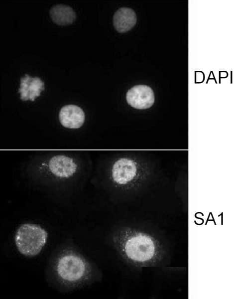 Immunocytochemistry - Anti-SA1 antibody (ab4455)