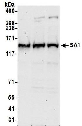 Western blot - Anti-SA1 antibody (ab4457)