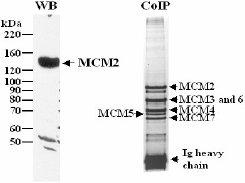Western blot - MCM2 antibody (ab4461)