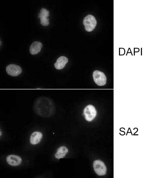 Immunocytochemistry - Anti-SA2 antibody (ab4464)