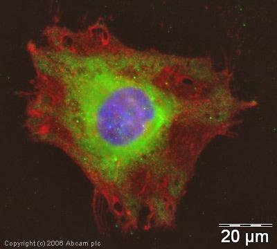 Immunocytochemistry/ Immunofluorescence - Anti-NSD3 antibody (ab4514)