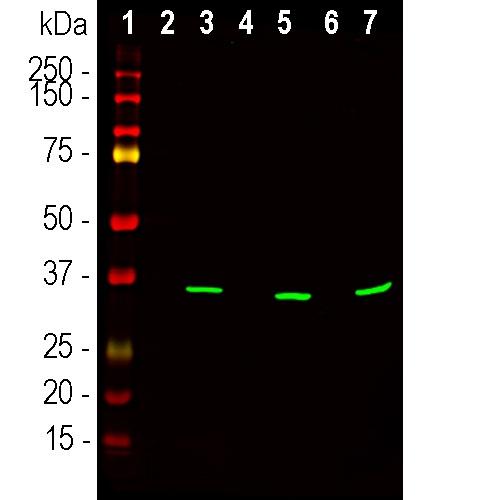 Western blot - Anti-Fibrillarin antibody [38F3] - Nucleolar Marker (ab4566)