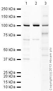Western blot - Anti-EMSY antibody (ab4579)