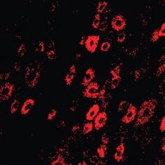 Immunohistochemistry - Free Floating - Anti-Peripherin antibody [8G2] - nociceptive neuron marker (ab4653)
