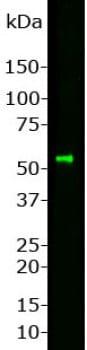 Western blot - Anti-Peripherin antibody (ab4666)