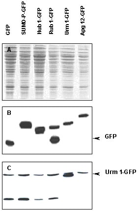 Western blot - Anti-Urm1 antibody (ab4755)