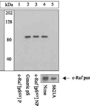 Western blot - Anti-Raf1 (phospho S621) antibody (ab4767)