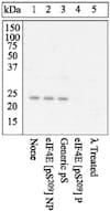 Western blot - Anti-eIF4E (phospho S209) antibody (ab4774)