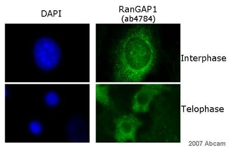 Immunocytochemistry/ Immunofluorescence - Anti-RanGAP1 antibody (ab4784)