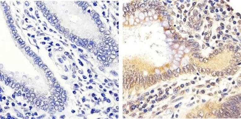 Immunohistochemistry (Formalin/PFA-fixed paraffin-embedded sections) - Anti-Erk1 (pT202/pY204) + Erk2 (pT185/pY187) antibody (ab4819)