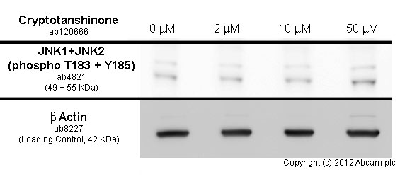 Western blot - Anti-JNK1 + JNK2 (phospho T183 + Y185) antibody (ab4821)