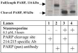 Western blot - Anti-Cleaved PARP1 antibody (ab4830)