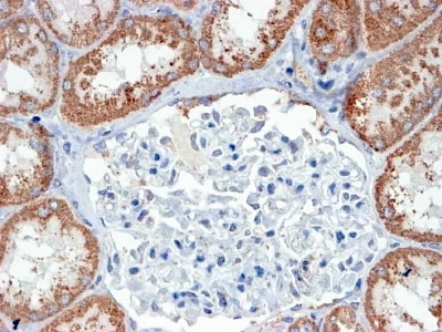 Immunohistochemistry (Formalin/PFA-fixed paraffin-embedded sections) - Anti-USP16 antibody (ab4853)