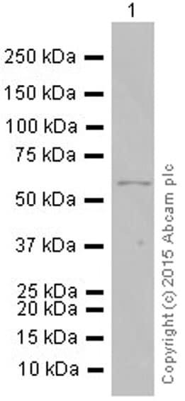 Western blot - Anti-p73 antibody [EP436Y] (ab40658)