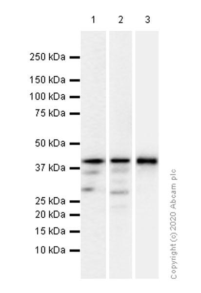 Western blot - Anti-c-Jun antibody [EP693Y] (ab40766)