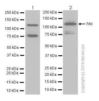 免疫印迹-抗FAK抗体[EP695Y](ab40794)