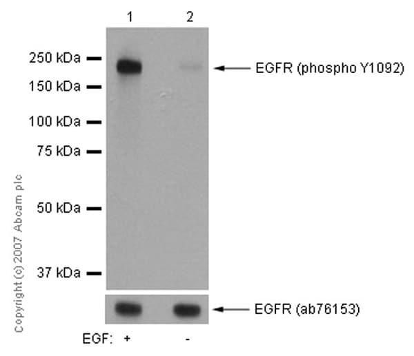 Western blot - Anti-EGFR (phospho Y1092) antibody [EP774Y] (ab40815)