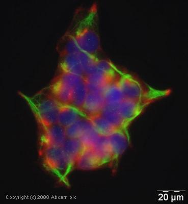 Immunocytochemistry/ Immunofluorescence - Anti-Natriuretic Peptide Receptor A antibody (ab40817)