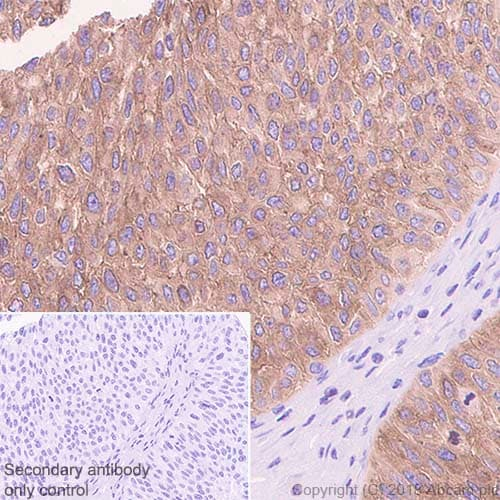 Immunohistochemistry (Formalin/PFA-fixed paraffin-embedded sections) - Anti-Ezrin antibody [EP886Y] - Plasma Membrane Marker (ab40839)