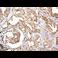 免疫组织化学(福尔马林/PFA固定石蜡切片)-抗Smad3抗体[EP568Y](ab40854)