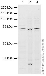 Western blot - Anti-BHC80 / PHF21A antibody (ab41631)