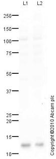 Western blot - Anti-Bex1 antibody (ab41807)