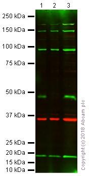 Western blot - Anti-Zfp57 antibody (ab45341)