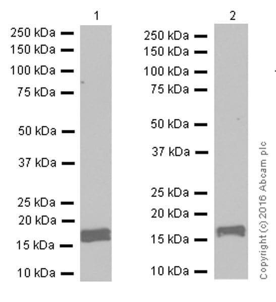 免疫印迹-抗钙调素1/2/3抗体[EP799Y]-C末端(ab45689)