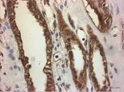 Immunohistochemistry (Formalin/PFA-fixed paraffin-embedded sections) - Anti-Aquaporin 4 antibody (ab46182)