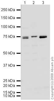 Western blot - Anti-BAHD1 antibody (ab46573)