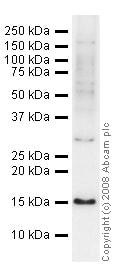 Western blot - Anti-CGRP antibody (ab47027)