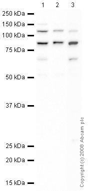 Western blot - Anti-XPD antibody (ab47186)