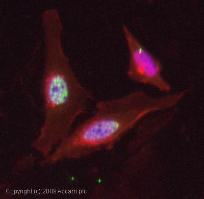Immunocytochemistry/ Immunofluorescence-FOXO4 (phospho S197) antibody(ab47278)