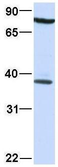 Western blot - Anti-DBPA antibody (ab48952)